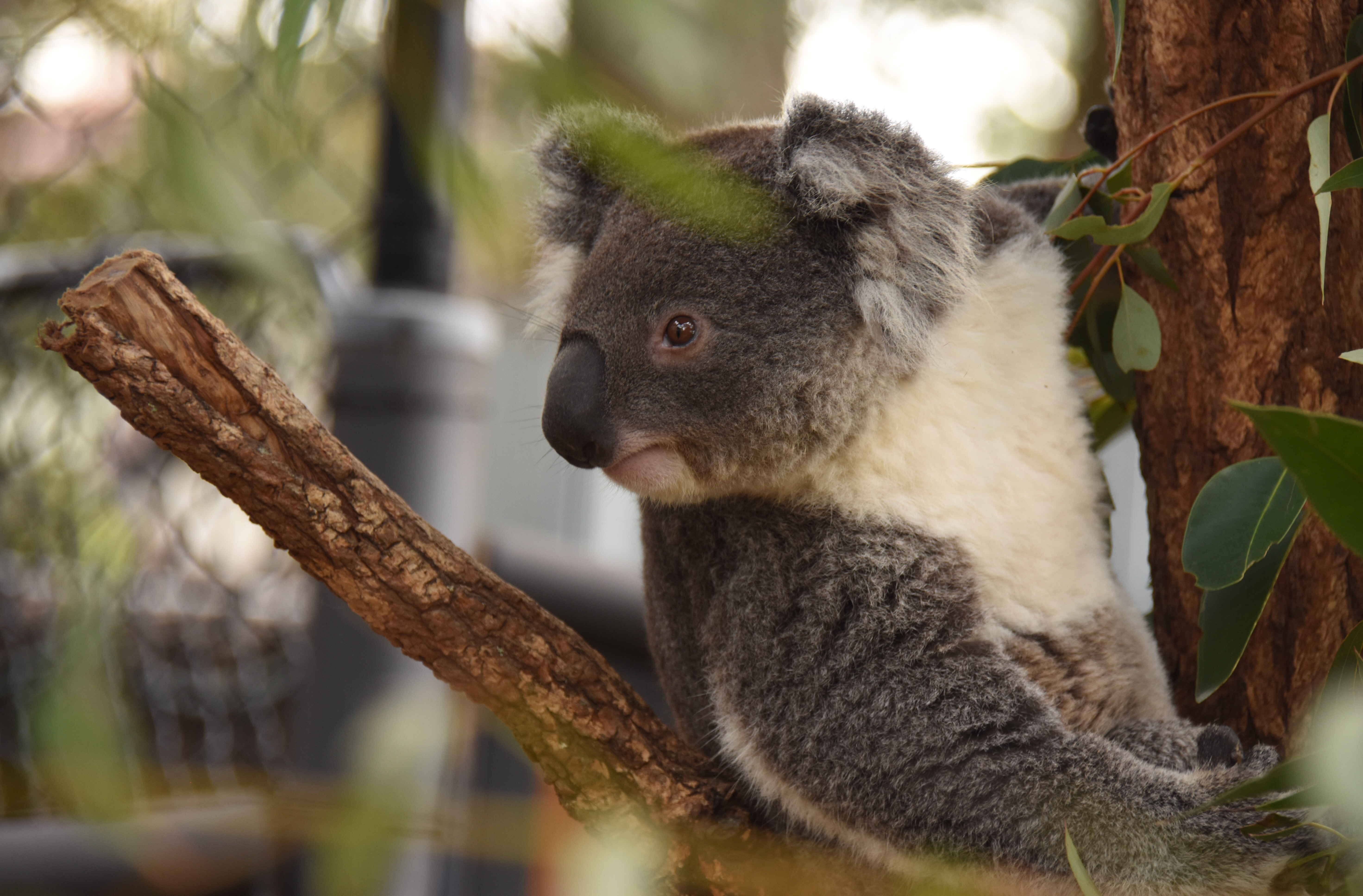 the koala essay This same is the case with the koala bear: they look if the smell is like a eucalyptus leaf, then it is lunch for the bear but rest of the things in the nature is not the lunch for the koala bear but those who are omnivorous then it is a complicated problem mainly.